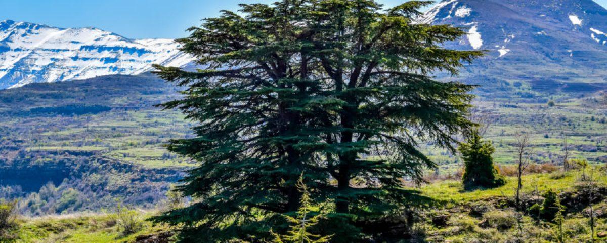 cedro-líbano-2-900x600